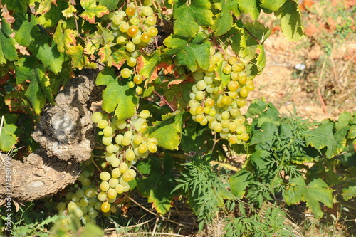 Aluminium Wijngaard Weintrauben / Weinreben in Spanien