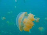 Quallen im Jelly fish lake