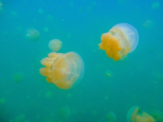 Quallen im Jelly fish lake