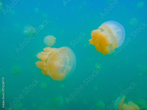 Quallen im Jelly fish lake Poster