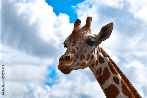 Giraffe Giraffa camelopardalis Poster