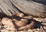 Diamond back rattlesnake in front of dead tree stump looking to the right - 176280338