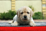 the little labrador puppy on a red background - 176281574