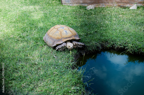 Fotobehang Schildpad Brown large tortoise moving through grass toward watering hole.