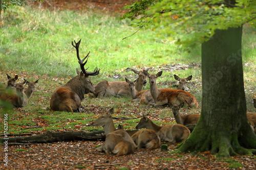 Fotobehang Hert Rothirsche im Wald und während der Brunft