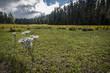 Yarrow Flower and Field