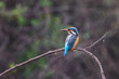 Common kingfisher (Alcedo atthis) sitting on a stick in Keoladeo Ghana National Park,  Bharatpur, India