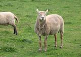 grazing sheep - 176294914