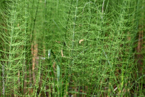 Steams of water horsetail Poster