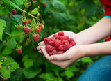 Woman hands with big red raspberries