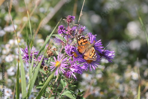 Fotobehang Vlinder Painted Lady Butterfly ( Vanessa cardui ) on New England Aster at the end of the summer. season.