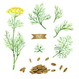 Dill plant with flowers,  leaves and seeds isolated on white watercolor illustration - 176305348