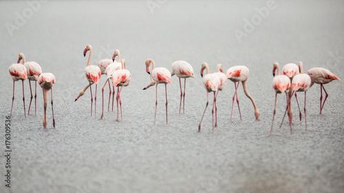 Flamingos in Italiens Salinen, Emilia Romagna - 176309536