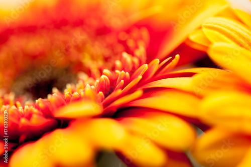 Aluminium Gerbera Gerbera jamesonii - beautiful flower with macro details