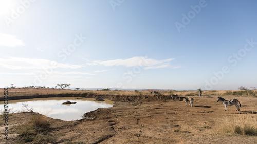 In de dag Blauwe hemel Zebra herd. Nambiti Game Reserve, South Africa.