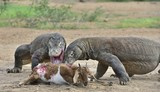 The dragons attacks. The Komodo dragons attacks the prey. The Komodo dragon, Varanus komodoensis, is the biggest living lizard in the world.On island Rinca. Indonesia.