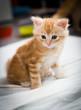 blue eyed kitten sitting