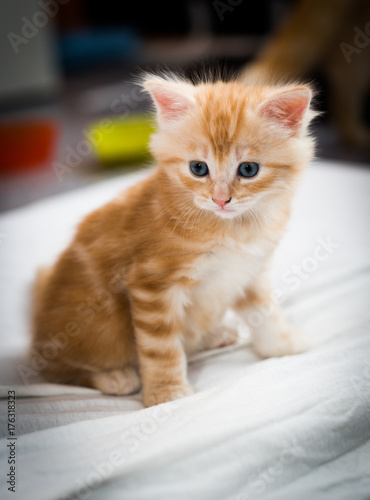 blue eyed kitten sitting Poster