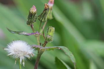 close-up of partially-opened Dandelion (Taraxacum) flower buds