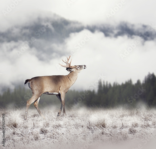 White-tailed deer - 176329908