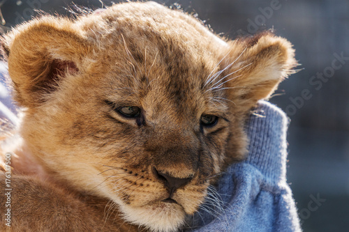 Aluminium Lion Lion cub sitting and pawing up