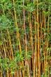 キンメイモウソウチク./茎が黄色の竹です.