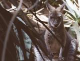 Kangaroo is sleeping in the shade.