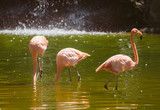 Pink flamingos in the pond. Phoenicopterus ruber. - 176346744