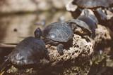 Lot of turtles sunbathing on a log. - 176346796
