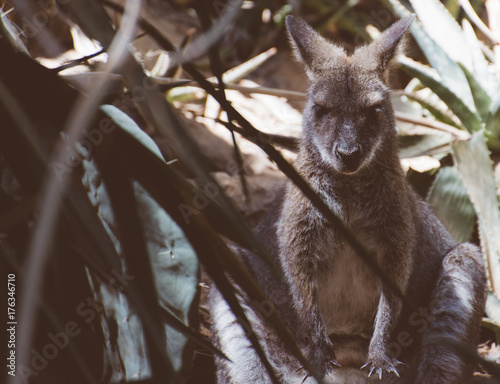 Aluminium Kangoeroe Kangaroo is sleeping in the shade.