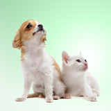 puppy chihuahua and kitten - 176346971