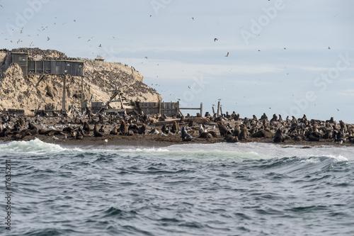 Tyuleny Island, Sea of Okhotsk, Russia Aug 26 2017 Colony of sea lions Poster