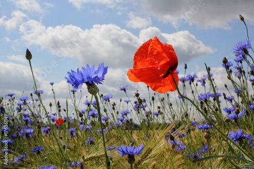 Foto op Canvas Klaprozen Rot und Blau