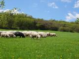 Flock of sheep grazing. Sheeps on mountain meadow - 176364351
