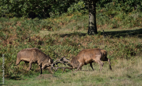 Tuinposter Herfst Rutting red deer