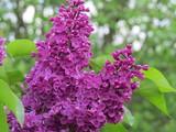 lilac - 176377393