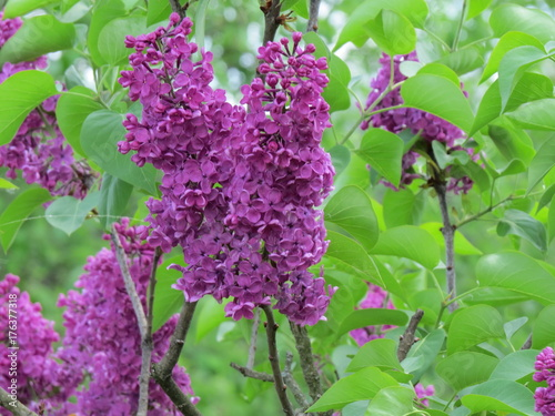 Remember the smell of Lilacs! (The Vast Russia! Sergey, Bryansk.)