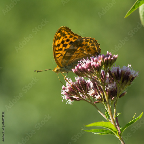 Fotobehang Vlinder Macro photo - butterfly sitting on wild flower in sunny summer day on meadow