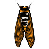 Color cicada hand drawn. Isolated insect with wings on white background for Halloween. Vector. - 176380744
