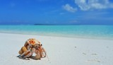 P01705 Maldives white sandy beach hermit crab on sunny tropical paradise island with aqua blue sky sea ocean 4k - 176382747