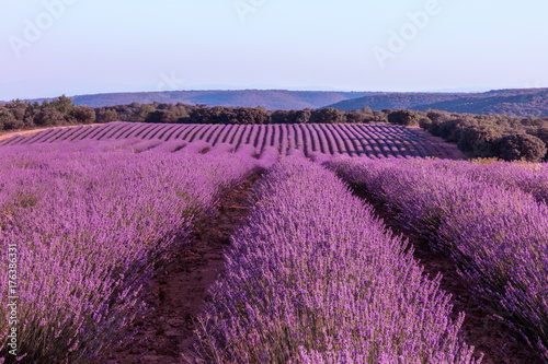 Blooming lavender flowers field with blue sky and copyspace © laplateresca