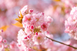 sakura flowers cherry blossoms - 176386951