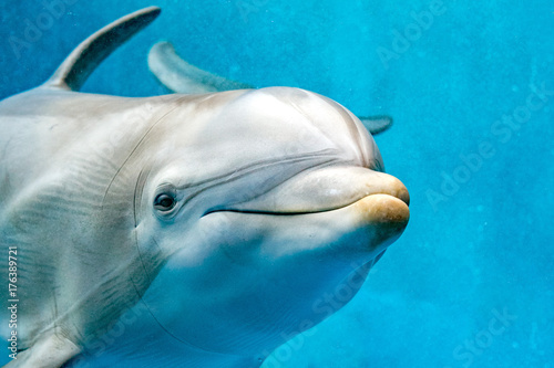 Fototapeta dolphin close up portrait detail while looking at you