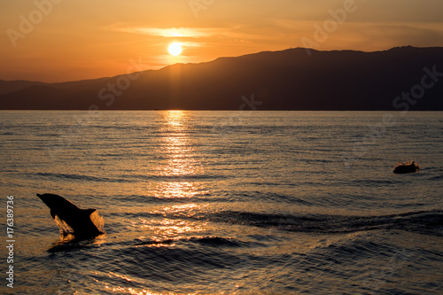 Dolphin silhouette while jumping in the sea at sunset Poster
