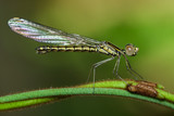 Image of Libellago lineata lineata dragonfly (Rhinocypha fenestrella) on a green branch. Family Chlorocyphidae. Insect. Animal, - 176392520