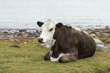 one cow brown and white at the beach - 176392943