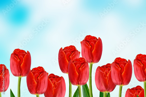 Poster Rood traf. Bright and colorful flowers tulips