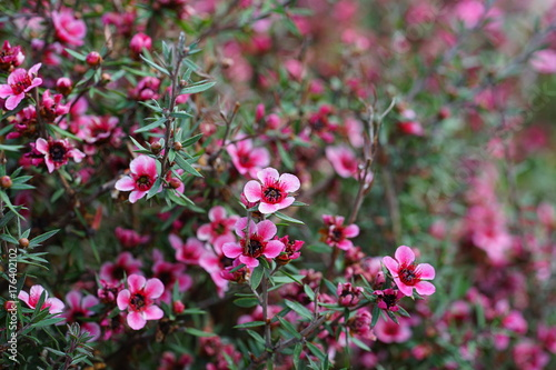 Pink waxflowers chamelaucium growing on a shrub buy photos ap pink waxflowers chamelaucium growing on a shrub mightylinksfo