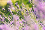 wild lavenders in the field, a sunny day - 176404712