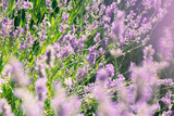 wild lavenders in the field, a sunny day - 176404714